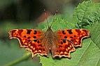 Comma butterfly (Polygonia c-album) ab hutchinsoni.jpg