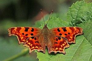 Polygonia c-album - Aberration hutchinsoni Northamptonshire, UK