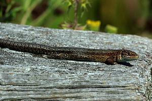 Viviparous lizard - Image: Common (viviparous) lizard (zootoca vivipara)