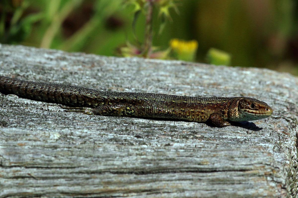Viviparous lizard - Wikipedia