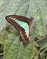 Common Bluebottle Graphium sarpedon by Dr. Raju Kasambe DSCN1800 (7).jpg