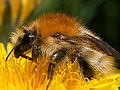 Common Carder Bee.jpg