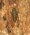Common Cicada (from up), Kerala, India.jpg