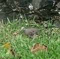 Common Ground-Dove.Columbina passerina - Flickr - gailhampshire.jpg