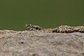 Common Indian Monitor (Varanus bengalensis) in Hyderabad, AP W IMG 8089.jpg