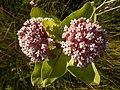 Common Milkweed (Asclepias syriaca) - Guelph, Ontario 2014-07-09 (02).jpg