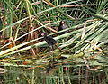 Common Moorhen (Gallinula chloropus)- Juvenile with adult in Hyderabad, AP W IMG 7682.jpg
