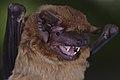 Common Noctule Portrait.jpg