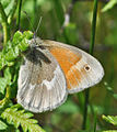Common Ringlet (Coenonympha tullia) (9071046473).jpg
