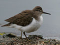 Common Sandpiper (Actitis hypoleucos) in Hyderabad, AP W IMG 2442 g.jpg