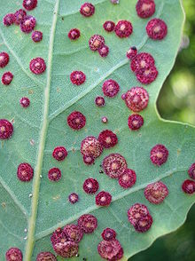 Common Spangle gall - detail.JPG