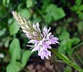 Common Spotted Orchid. Dactylorhiza fuchsii - Flickr - gailhampshire.jpg