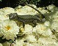 Common Wall Lizard (Podarcis muralis) (6161798896).jpg