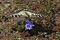 Common Yellow Swallowtail - Papilio machaon I IMG 7209.jpg