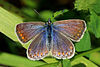 Common blue butterfly (Polyommatus icarus) female.jpg
