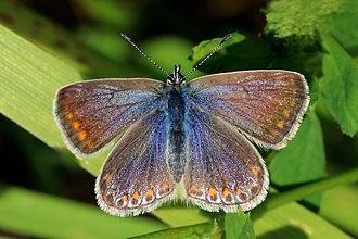 Common blue - Female both in Oxfordshire