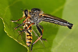 Robber Fly, Zosteria spec. feeding on a hoverfly