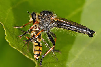 A robberfly with its prey, a hoverfly. Insecti...