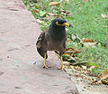 Common myna in Rajpath.jpg