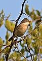 Common whitethroat, Sylvia communis at Zaagkuildrift Road near Kgomo Kgomo, Limpopo, South Africa (33409981602).jpg