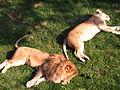 Como Zoo's lions.JPG