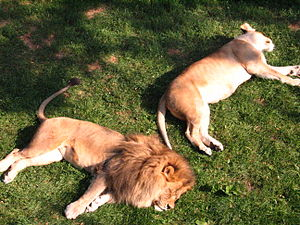 Como Zoo - Lions at Como Zoo.
