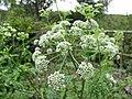 Conium maculatum inflorescence (10).jpg