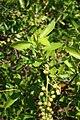 Conocarpus erectus 1.jpg