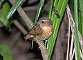Conopophaga lineata -Parque Estadual da Serra da Cantareira, Sao Paulo, Brasil-8a.jpg