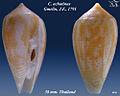 Conus achatinus 3.jpg