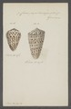 Conus papilionaceus - - Print - Iconographia Zoologica - Special Collections University of Amsterdam - UBAINV0274 086 02 0034.tif