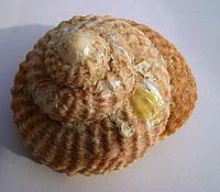 Cookia sulcata (Cook's turban) Catlins