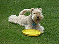 Cookie and the frisbee (222335055).jpg