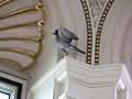 Cooper's Hawk in the Library of Congress.jpg