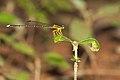 Copera marginipes male in Kadavoor.jpg