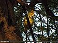 Coppersmith Barbet (Megalaima haemacephala) (15706919628).jpg