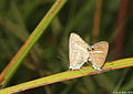 Copula of Long-tailed Blue in Central-Sulawesi highland (5085689643).jpg
