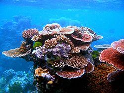 Assemblage de coraux sur la Grande barrière de corail (Australie).