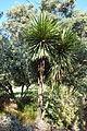 Cordyline australis - Leaning Pine Arboretum - DSC05812.JPG