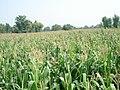 Corn field in Pakistan 013.jpg