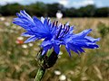 Cornflower (Centaurea cyanus) (36723431901).jpg