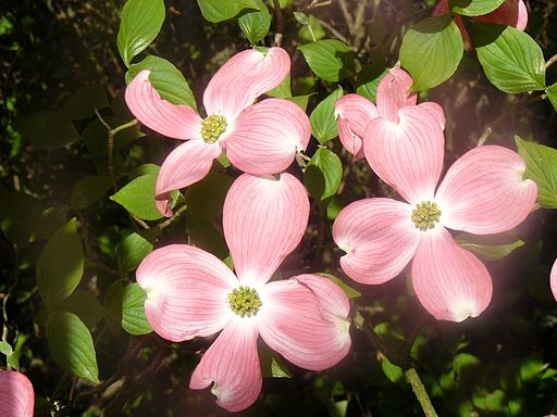 cornouiller fleurs