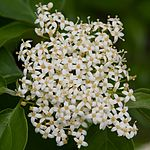 Cornus drummondii - detail of the flower cluster of the roughleaf dogwood.jpg