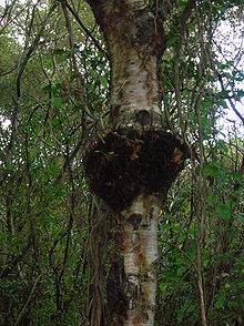arbre erable