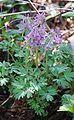 Corydalis solida 240406.jpg