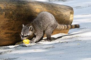 Crab-eating raccoon species of mammal