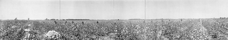 Cottonfieldpanorama-edited