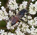Crabronidae Astata female SU72989677 - Flickr - gailhampshire.jpg