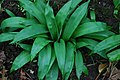 Craf y Geifr - Allium ursinum - Ramsons - geograph.org.uk - 731847.jpg