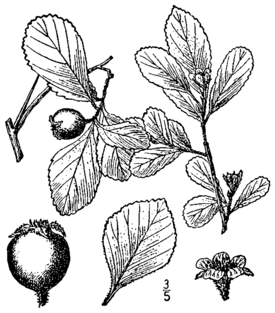 Crataegus uniflora BB-1913.png